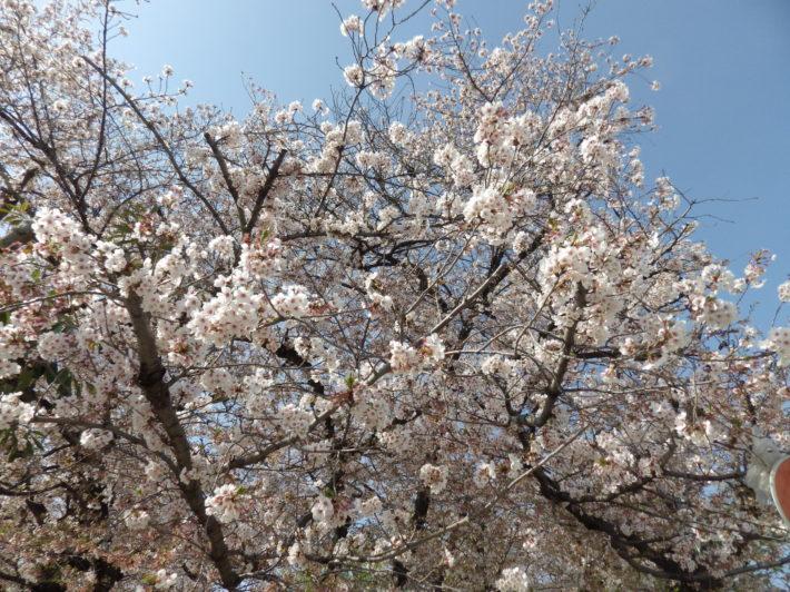 今年もやります!南浦和の公園でお花見パーティ♪